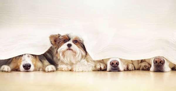 proCani-Angst-vor-Silvester-Hunde-min